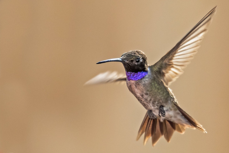 Black-chinned-Hummer-14-7D2-073120