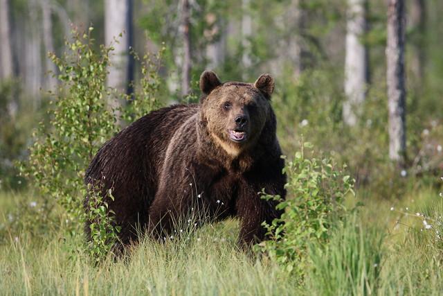 Large wild bear