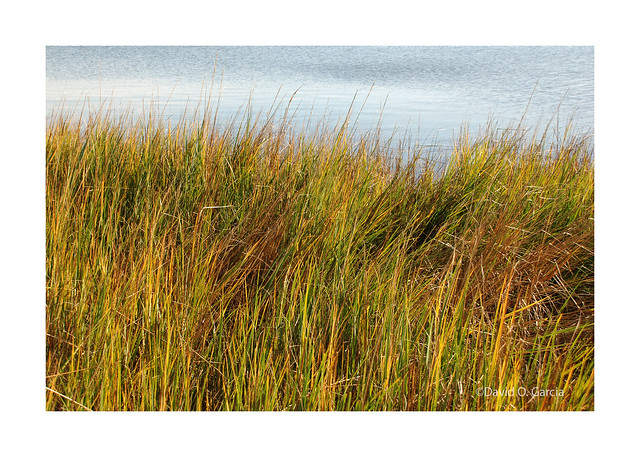 Common Reed Grass (Explorer 8/7/2020)
