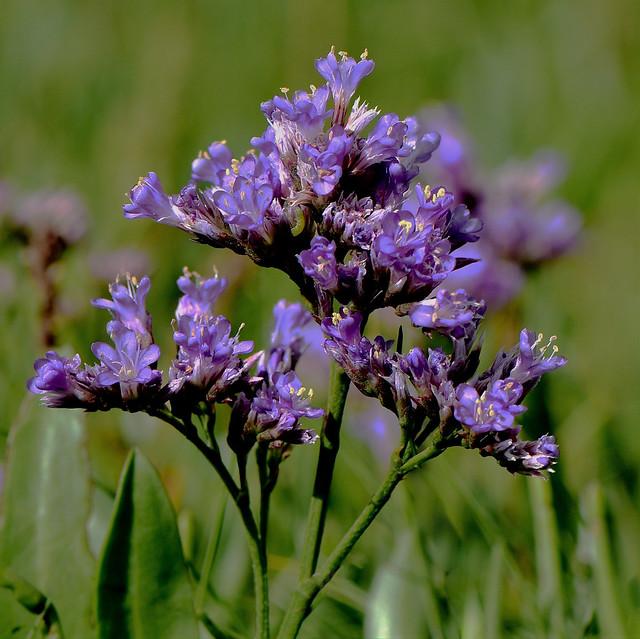 Common Sea Lavender Limonium vulgare