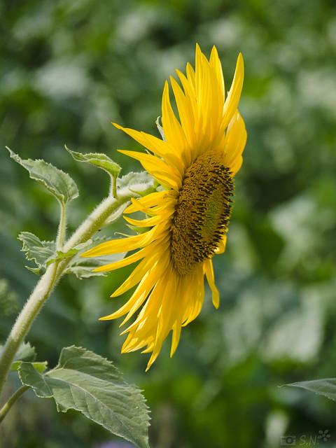 Sonnenblume 20 - 03