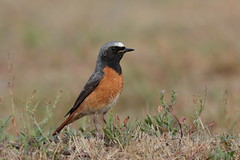 Redstart male (T)