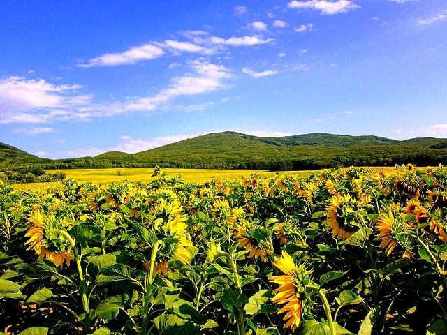 sunflower field / Explored