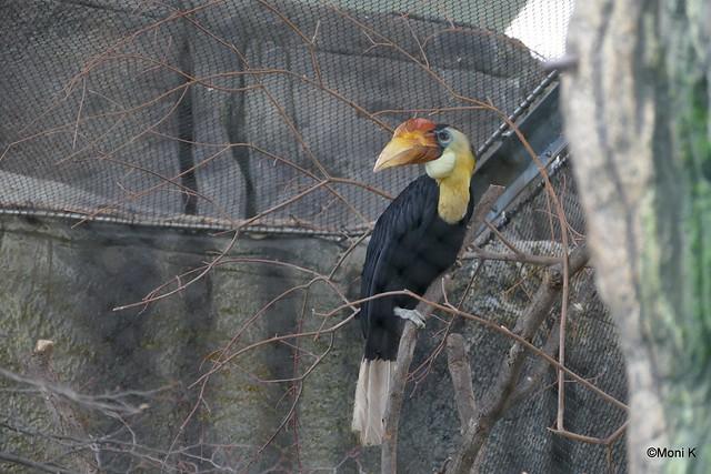 59-Runzelhornvogel
