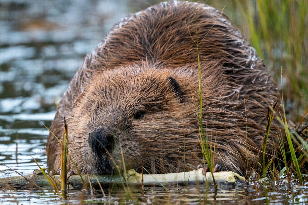 England's First Wild Beavers in 400 Years Allowed to Remain in East Devon Habitat
