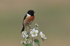 Stonechat male (T)