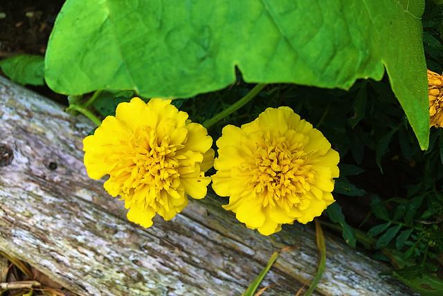 A Subtle Touch - Marigolds