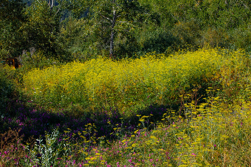 wildflowers anise sweetpeas madriver bluelake bluelakecalifornia humboldtcounty northcoast summer northerncaliforniaphotography audubon audubonmagazine natureconservancy flickrnature landscape