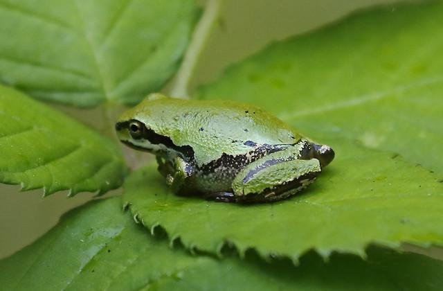 Pacific Tree Frog  at the upper pocket marsh