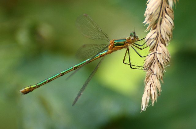 Willow Emerald Damselfly.