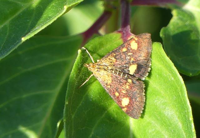 Mint Moth .