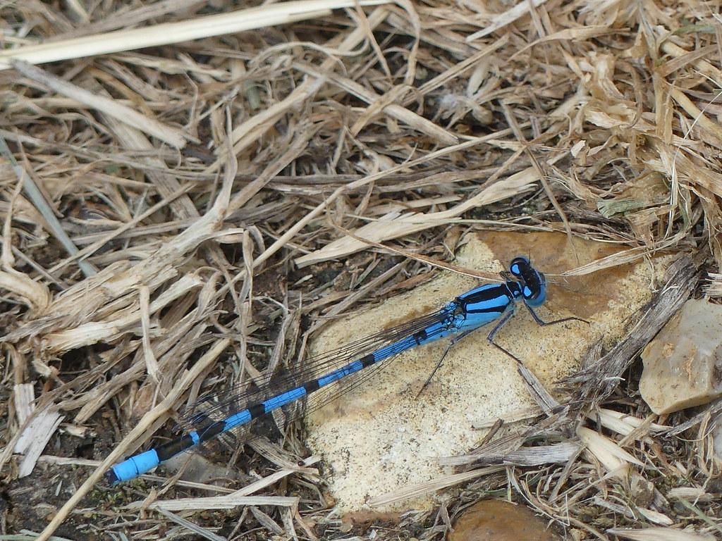 Common Blue Damselfly..