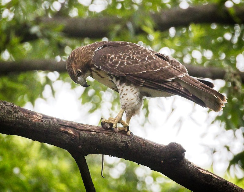 Tompkins Square red-tail fledgling with a rat
