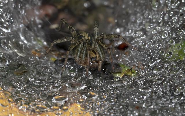 Agelenidae sp. dopo la pioggia