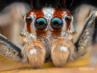 Jumping spider (Plexippus paykulli) - P8011418