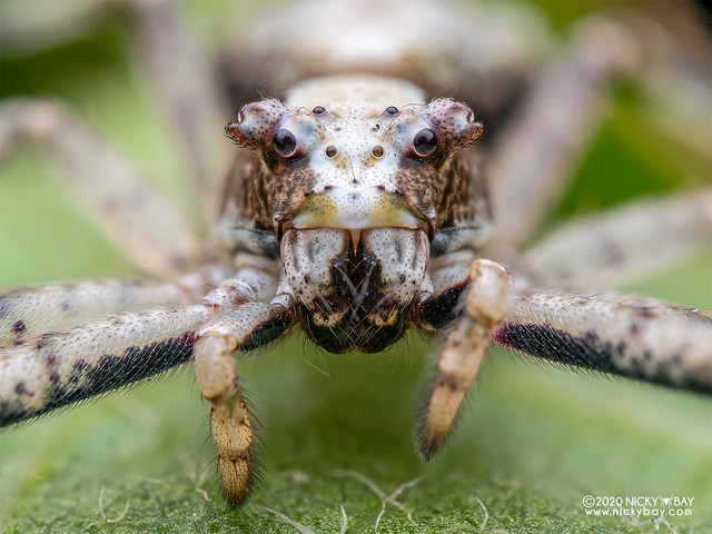 Crab spider (cf. Tmarus sp.) - P8011364