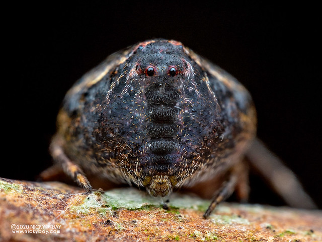 Orb weaver spider (Araneidae) - P8011618