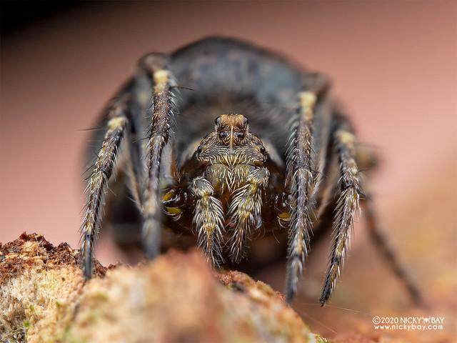 Orb weaver spider (Araneidae) - P8011602