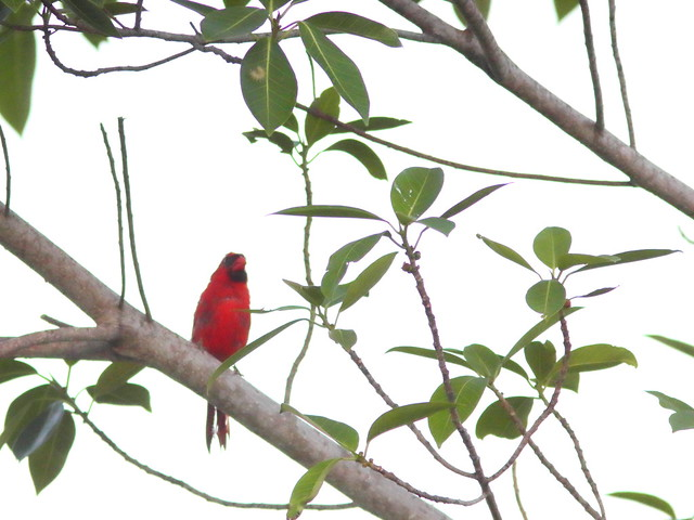 Northern Cardinal in moult 20200806