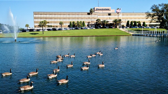 A flock of Canada geese (branta canadensis)