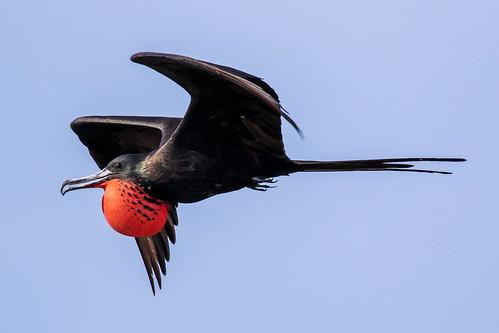 outdoor seaside dennis adair shore sea sky water nature wildlife 7dm2 7d ii ef100400mm ocean canon florida bird bif flight red