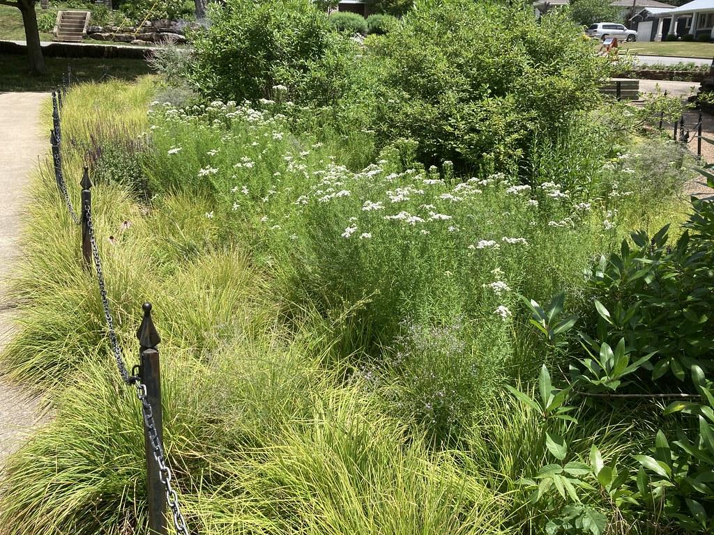 Pycnanthemum tenuifolium Slender Mt Mint 2020-06-22 Fay AR  (2)