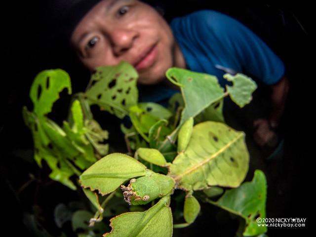 Leaf insect (Phyllium chrisangi) - P8011452