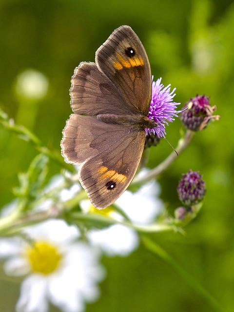 Meadow Brown Butterfly (Maniola jurtina)