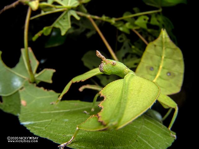 Leaf insect (Phyllium chrisangi) - P8011456