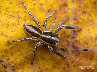 Jumping spider (Plexippus paykulli) - P8011386