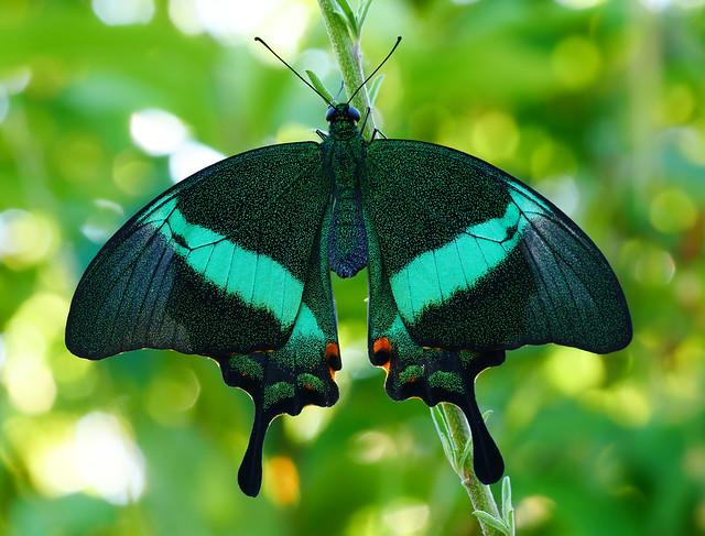 Smaragdgrüner Schwalbenschwanz (Papilio Palinurus)