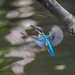 Kingfisher -202008051189.jpg