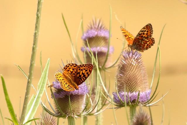 087A5194 Butterflies