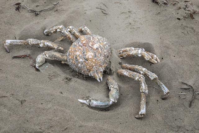 Sheep Crab, Loxorhynchus grandis, DOA