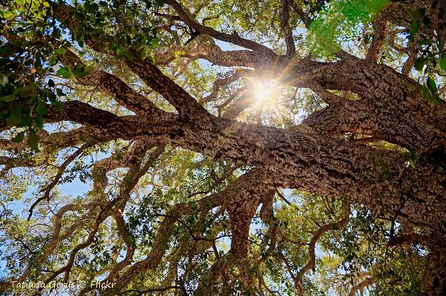 Oak with starburst :  Cork tree in Australia