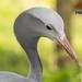 Elegant Blue Crane