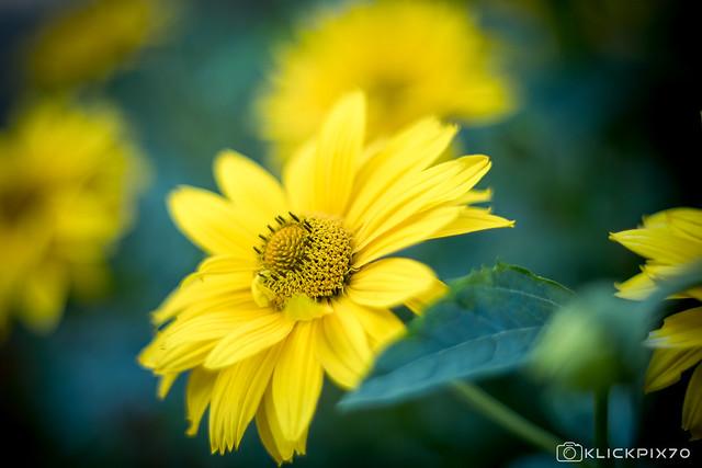 XvinTage4 Maximilian Sunflower