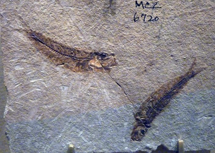 Clupea catopygoptera 50198343721_15bfe144a6_o