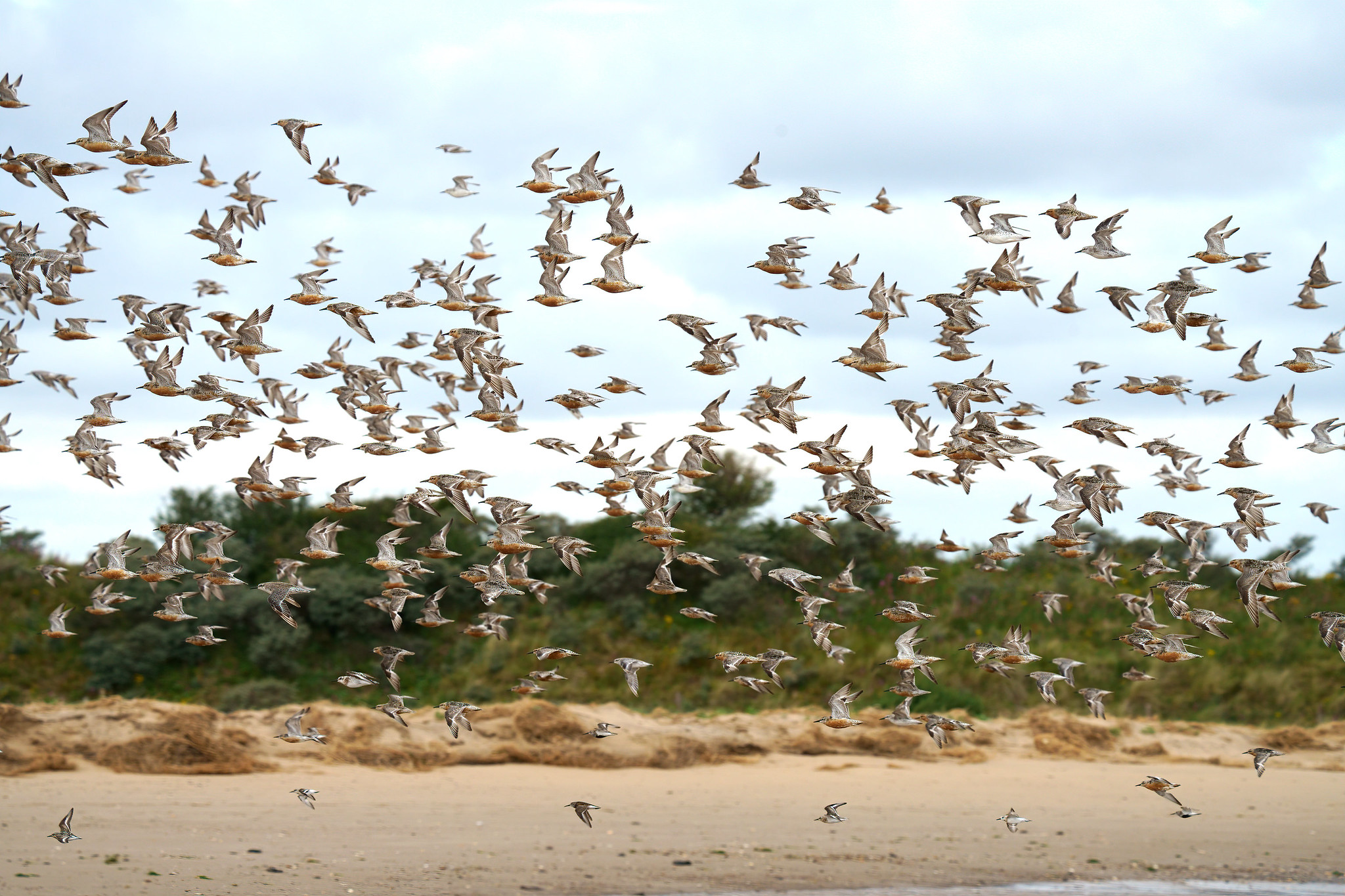 Mixed Waders - Knot and Sanderling