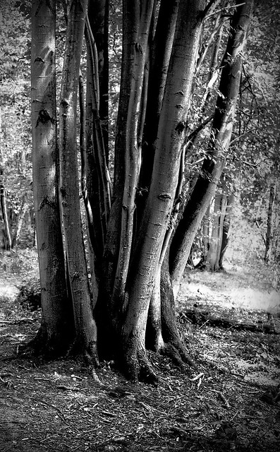 Coppiced Lime Tree.
