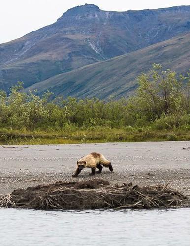 Wolverine_Summer_Alaska