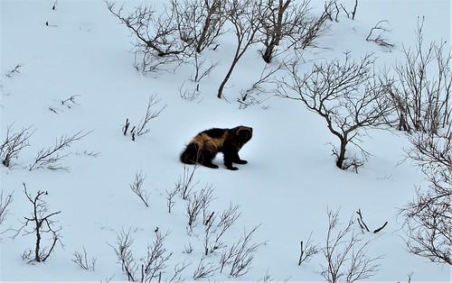 Wolverine_May_Alaska