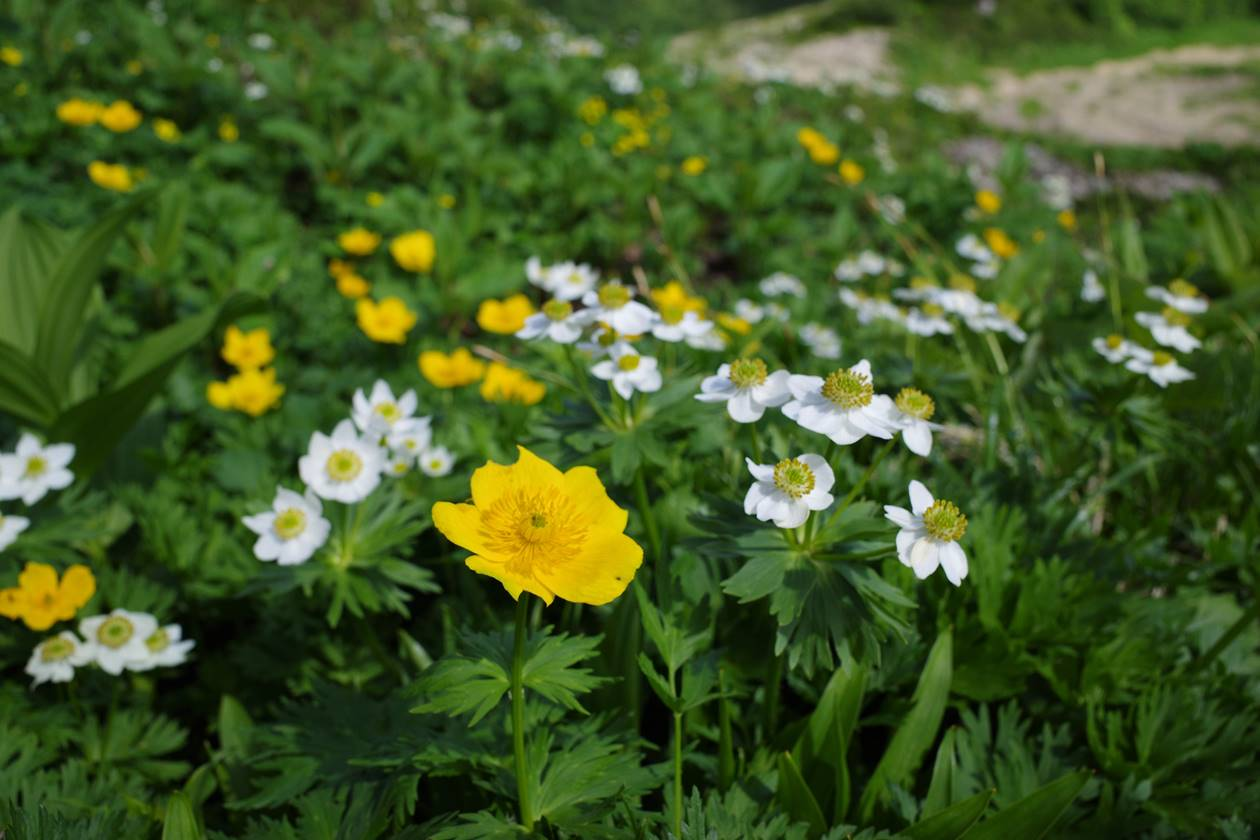 北アルプス・薬師岳のお花畑