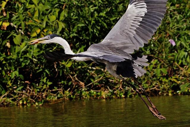 Cocoi Heron In Flight (Ardea cocoi)