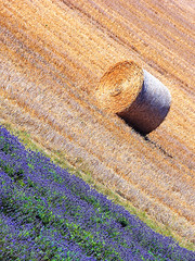 Lavender and wheat, Eynsford, UK