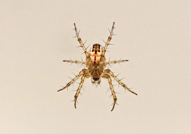 Aranya-Araña-Spider