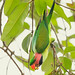 200806 - Long-tailed Parakeet