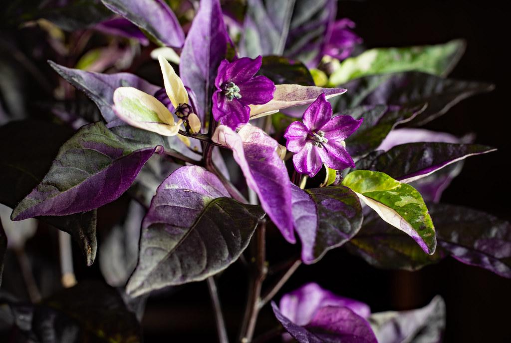 Purple Pepper Petals
