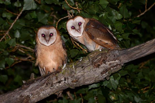 Barn Owls at Lake Merritt, Oakland, California