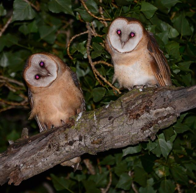 Barn Owls at Lake Merritt 2, Oakland, California